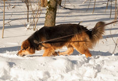 Red fluffy mongrel dog running on snow Royalty Free Stock Photo