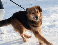 Red fluffy mongrel dog running on snow Royalty Free Stock Photography