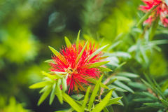 Red Fluffy Powderpuff Flower Blooming in The Garden Royalty Free Stock Photo
