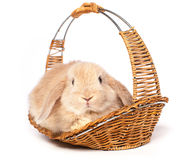Red  fluffy rabbit in a basket Stock Image