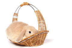 Red  fluffy rabbit in a basket Royalty Free Stock Images