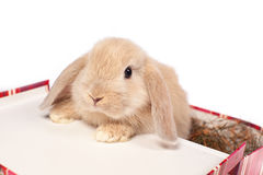Red  fluffy rabbit in a suitcase Stock Images