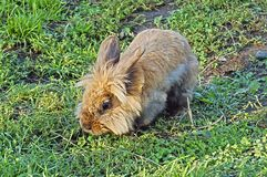 Red, fluffy rabbit walks in the grass. stock photos