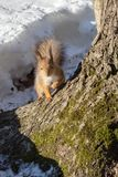 Red fluffy squirrel stock image