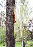Red fluffy squirrel lies on a tree and eats food Stock Image
