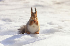 Red fluffy squirrel sitting in the snow Royalty Free Stock Image