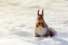 Red fluffy squirrel sitting in the snow Stock Images