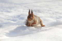 Red fluffy squirrel sitting in the snow Royalty Free Stock Photography