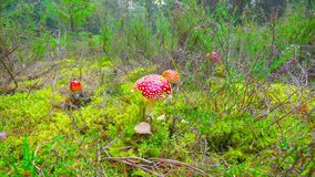 Red fly agaric in autumn forest, time-lapse with dolly. Red fly agaric in autumn forest, time lapse with dolly stock footage