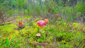 Red fly agaric in autumn forest, time-lapse. With dolly stock footage
