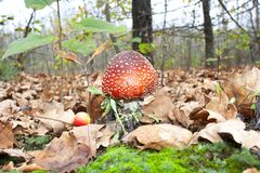 The red fly agaric Stock Photography