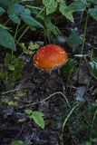 Red fly agaric death cap in fallen leaves green grass Royalty Free Stock Images
