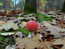 Red fly agaric among green moss and dry leaves. Small inedible mushroom in autumn forest royalty free stock image