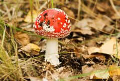 Red fly-agaric mushroom Royalty Free Stock Photo