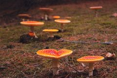 Red fly agaric mushroom or toadstool in the grass. Latin name is Amanita muscaria. Toxic mushroom. A lot of red fly agaric mushrooms or toadstool in the grass Stock Images