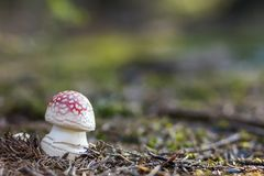 Red fly agaric mushroom or toadstool in the grass. Latin name is. Amanita muscaria. Toxic mushroom. White-dotted red mushroom Royalty Free Stock Photos