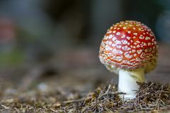 Red fly agaric mushroom or toadstool in the grass. Latin name is. Amanita muscaria. Toxic mushroom. White-dotted red mushroom Stock Images