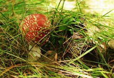 Red fly agaric Stock Photo
