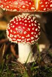 Red fly agaric Royalty Free Stock Photos