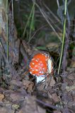Red fly agaric Royalty Free Stock Photo