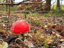Red fly agaric with round cap in the forest Royalty Free Stock Image