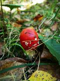 Red fly agaric, small. Toxic mushroom. Amanita muscaria. Poisonous fungus. Red tooadstool in grass, forest. Autumn color leaves. royalty free stock photography