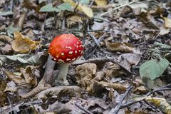 Red fly agaric sprouted through fallen leaves in a deciduous forest Stock Image