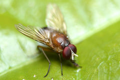 Red Fly on Green Leaf Stock Image