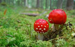 Red Fly mushroom Royalty Free Stock Images