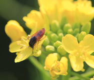 Red fly on the rapeseed flowers Royalty Free Stock Photography