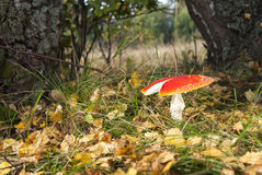Red flyagaric Royalty Free Stock Photo