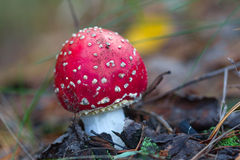 Red flyagaric mushroom Stock Images