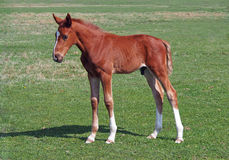 Red foal on green pasture Stock Photos