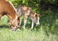 Red foal pony  eating the green grass near his mother pony Stock Image