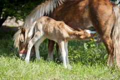 Red foal pony with a white blaze on his head eating milk of his mother pony. On the green grass Stock Photography