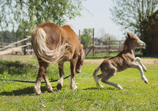 Red foal pony with a white blaze on his head jumping on the green grass. Near his mother pony Royalty Free Stock Image
