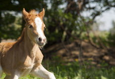 Red foal pony with a white blaze on his head running. On the trees background Stock Images