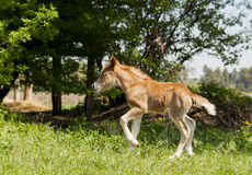Red foal pony with a white blaze on his head runs. On the green grass on the trees background Royalty Free Stock Images