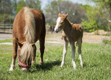 Red foal pony with a white blaze on his head stand near his mother pony. Red foal pony with a white blaze on his head stand on the green grass near his mother Royalty Free Stock Image