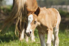 Red foal pony with a white blaze on his head walks. On the green grass near his mother pony Royalty Free Stock Photo