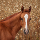 Red foal Stock Image