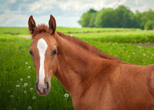 Red foal Stock Photos