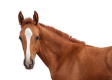 Red foal Royalty Free Stock Images
