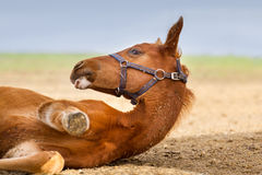 Red foal rest royalty free stock photography
