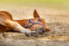 Red foal rest Stock Photos