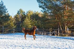 Red foal runs gallop along the parade-ground. Sunny winter day stock photos