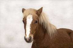 Red foal Shetland pony Royalty Free Stock Photography
