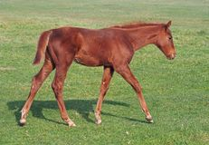 The red foal  on a green meadow. The red foal widely walks on a green meadow Royalty Free Stock Images