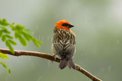Red Fody on the on the branch in the rain Royalty Free Stock Photos
