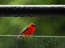 Red fody, lat. Foudia rubra, native bird to Mauritius Royalty Free Stock Images